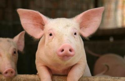 丘北投入1000万元恢复生猪产业发展  助力乡村振兴