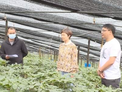 丘北县人大常委会专题调研全县三七产业发展工作