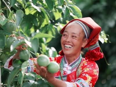 丘北平寨:小小百香果助力乡村振兴大产业