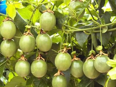 丘北县平寨乡百香果产业为乡村振兴添动力