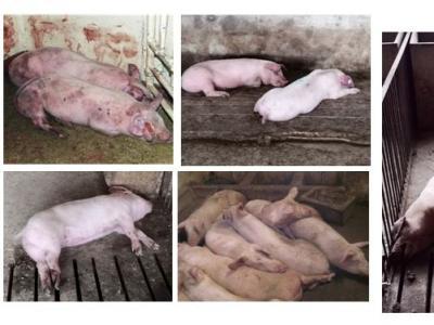 非洲猪瘟基础知识