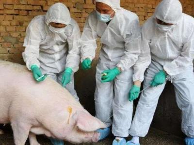 认识非洲猪瘟!教你怎么防控猪瘟