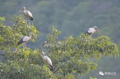 """红河县生态持续改善,引来这些""""仙鸟""""在这个河谷里诗意地栖居"""
