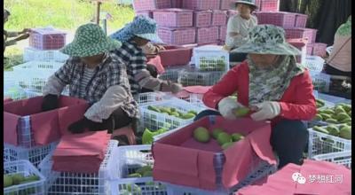 """红河县:热区长满""""摇钱树"""" 芒果飘香产业兴"""