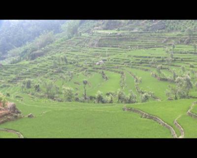 红河县今年试种四个品种优质红米
