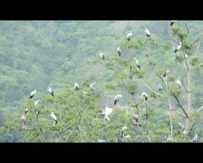 勐龙河畔鹳鸟飞