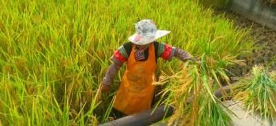 稻谷黄,丰收忙!红河县河谷热区早稻迎来丰收季!