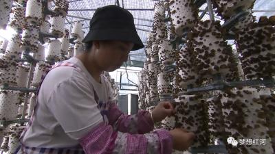 红河县:食用菌产业易地集中式扶贫拓宽富民路