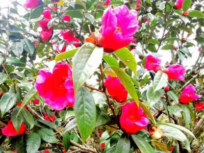 红河县甲寅后山:杜鹃花开红艳艳,一起去赏花吧
