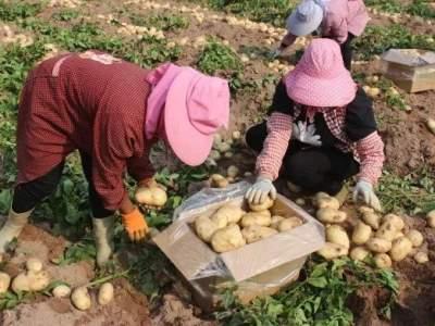 """1个重1公斤!红河县垤玛乡的土豆变致富""""金蛋蛋"""""""