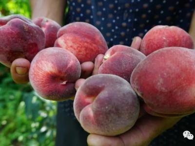 安庆的百亩红桃成熟了,快来采摘