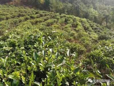 """垤玛乡:新种""""雪芽100号""""推进茶叶种植转型升级"""