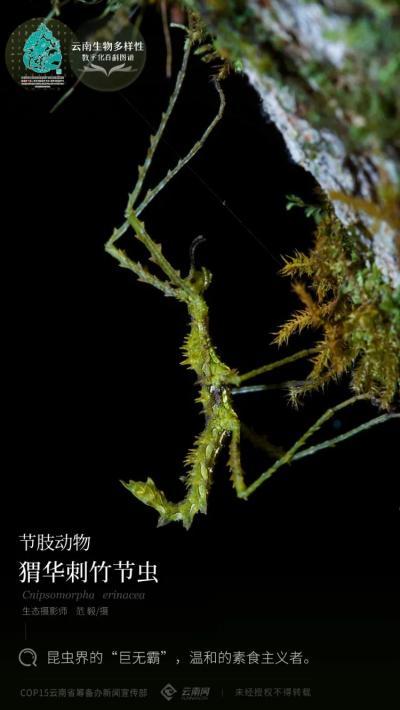 """【云南生物多样性数字化百科图谱】节肢动物•猬华刺竹节虫:昆虫界的""""巨无霸"""",温和的素食主义者"""