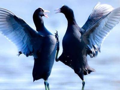 """【云南生物多样性数字化百科图谱】白骨顶:似鸡非鸡,似鸭非鸭,我是鸟中的""""四不像"""""""