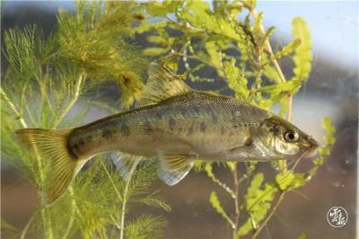 人民日报生态版头条关注云南:土著鱼,咋保护?