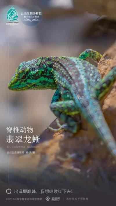 【云南生物多样性数字化百科图谱】脊椎动物·翡翠龙蜥:出道即巅峰,我想继续红下去