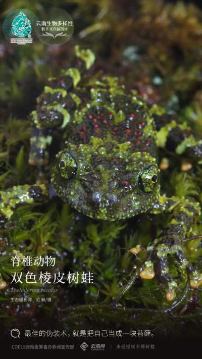 【云南生物多样性数字化百科图谱】脊椎动物·双色棱皮树蛙:最佳的伪装术,就是把自己当成一块苔藓