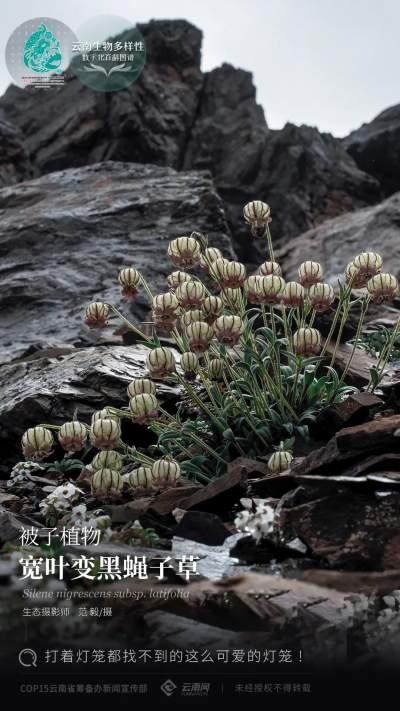 【云南生物多样性数字化百科图谱】被子植物·宽叶变黑蝇子草:打着灯笼都找不到的这么可爱的灯笼