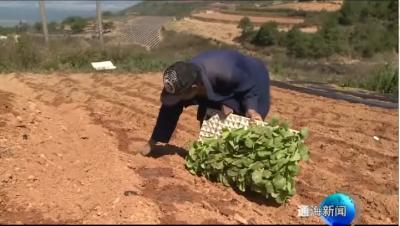 烤烟种植:杨梅沟村千方百计抗旱保移栽