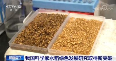 我国科学家水稻绿色发展研究取得新突破