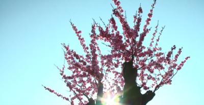 小城春意暖   梅桩繁花锦