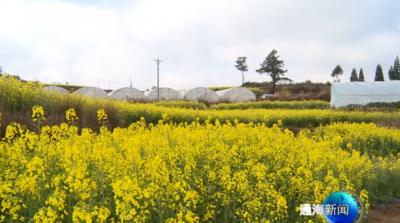 四寨村油菜花开遍地涌春潮