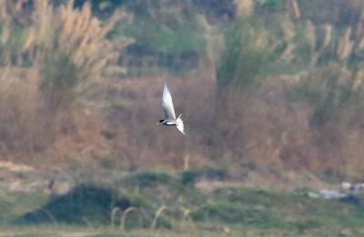 时隔60余年!云南盈江再次记录到珍稀鸟类黑腹燕鸥