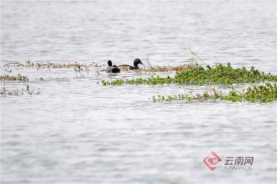世界极度濒危珍稀鸟类——青头潜鸭!首次在滇池湿地发现