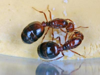 新华全媒+|被咬一下可能会休克!看到这种蚂蚁,一定要小心!