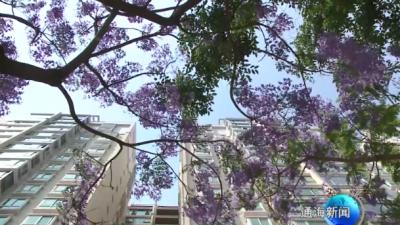蓝花楹花开正当时