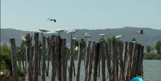 杞麓湖:鸟类乐园 生生不息