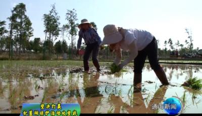 杞麓湖南岸 千亩连片水稻插秧忙