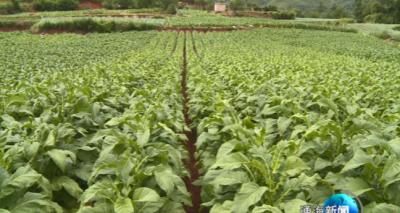 调种植结构 促融合发展 里山乡及时做好烤烟中后期管理