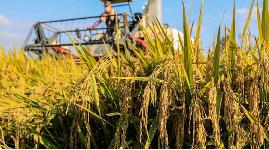今年秋粮种植面积预计超12.9亿亩