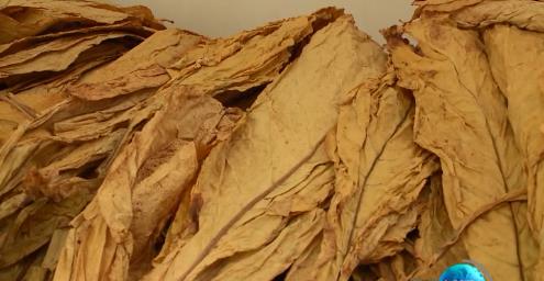 调种植结构 促融合发展 我县今年烤烟收购平稳顺利价格优