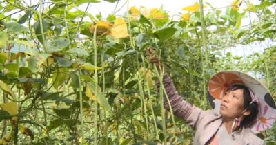 高大乡五街村:豇豆种植成为村民增收新亮点