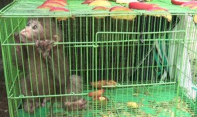 云南金平:猕猴幼崽落单  警民联手救助