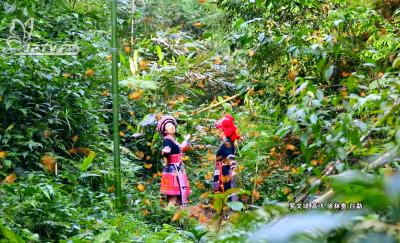 【中国·红河蝴蝶谷风光】绿野仙踪·与蝶共舞