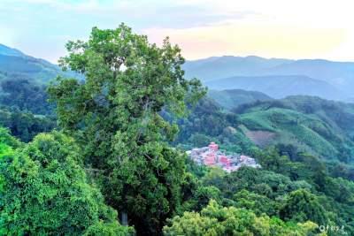 【COP15 看长寿金平】 西隆山下国家I级重点保护野生植物——东京龙脑香