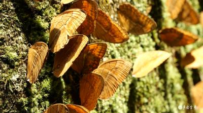 【生物多样性】金平:全面摸清蝴蝶底数  为保护生物多样性打牢基础