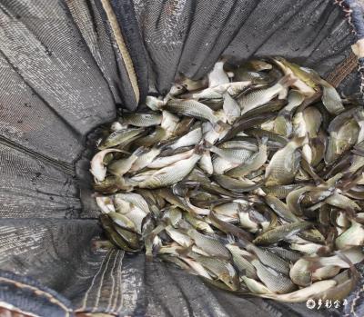 金平县开展渔业保护增殖放流活动